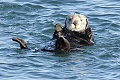 California Sea Otters - November 15, 2009